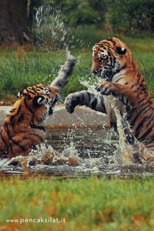 tigri combattimento